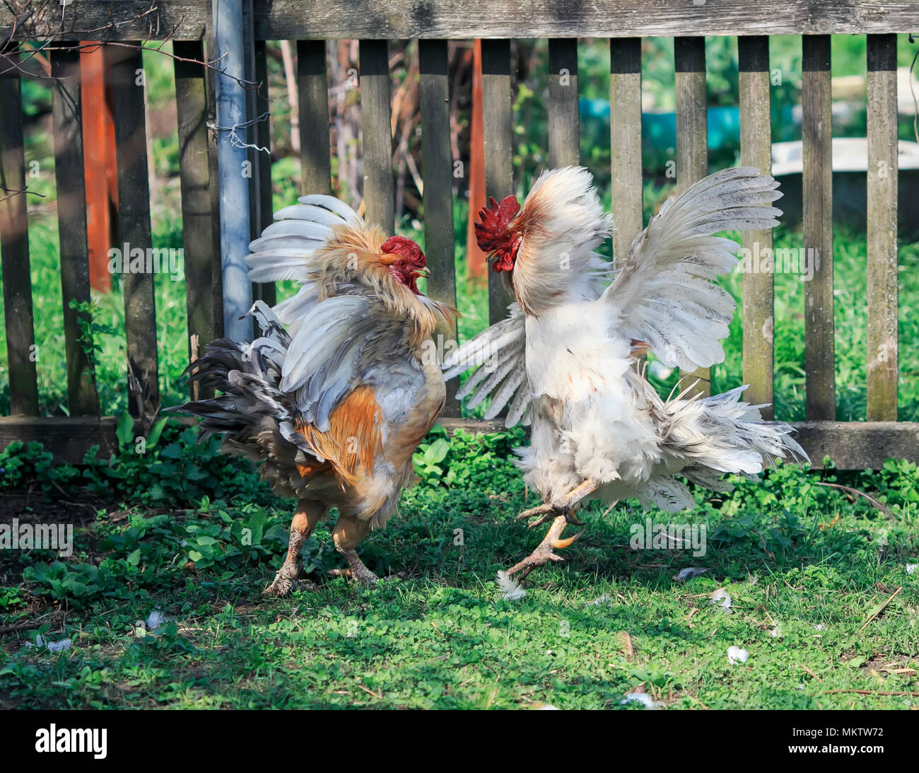 Cockfighting Spurs Stock Photos & Cockfighting Spurs Stock