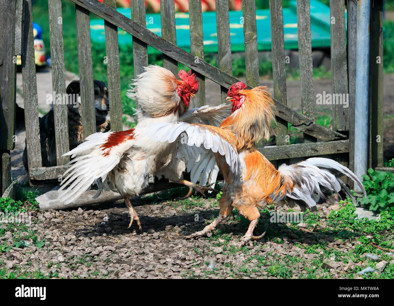 cock fighting in middle ages