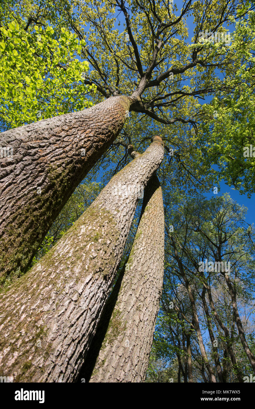 Pedunculate or English Oak - Quercus Robur, Stoke Woods, Bicester, Oxfordshire owned by the Woodland Trust - Stock Image