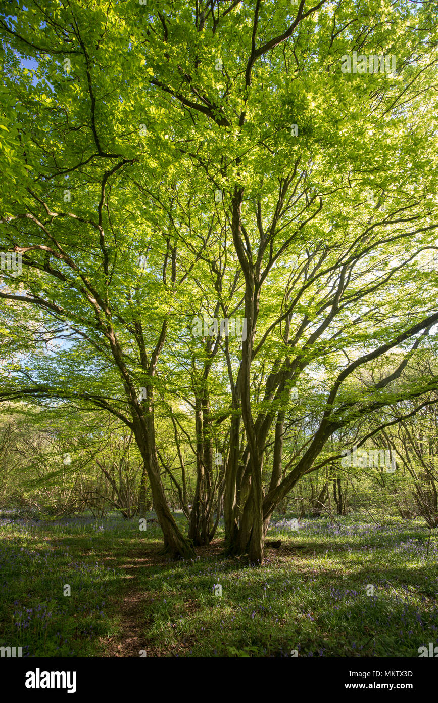 Ancient coppiced Hornbeam - Carpinus betulus, Stoke Woods, Bicester, Oxfordshire owned by the Woodland Trust - Stock Image