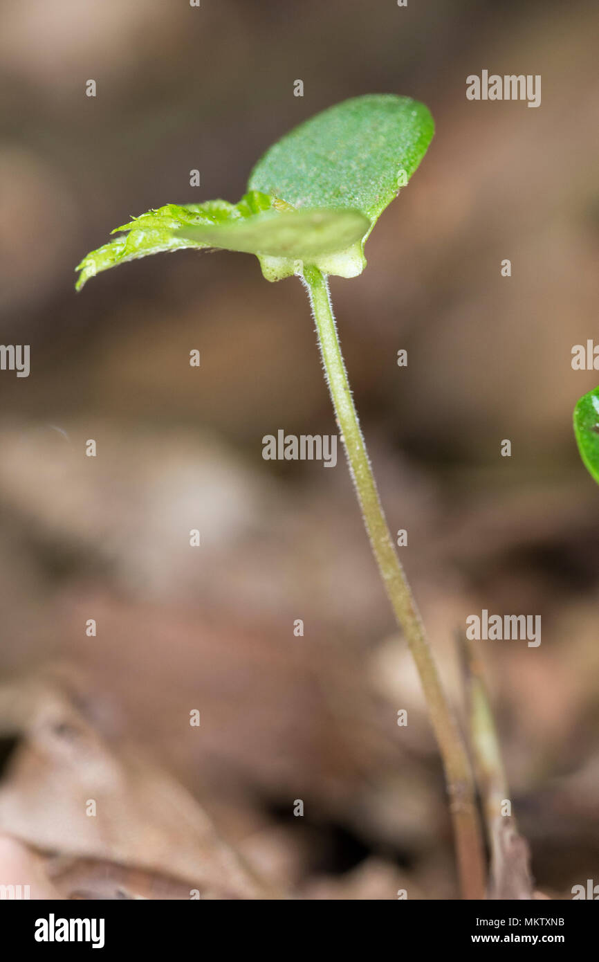 Hornbean seedlings - Carpinus betulus, Stoke Woods, Bicester, Oxfordshire owned by the Woodland Trust - Stock Image