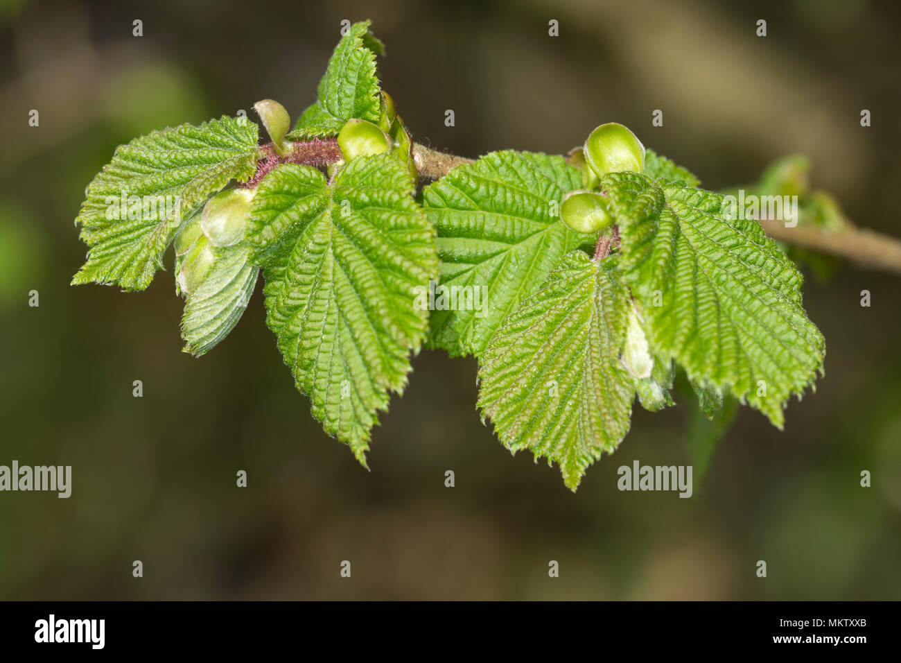 Hazel - Corylus avellana, spring leaf burst at Stoke Wood, Bicester, Oxfordshire - Stock Image