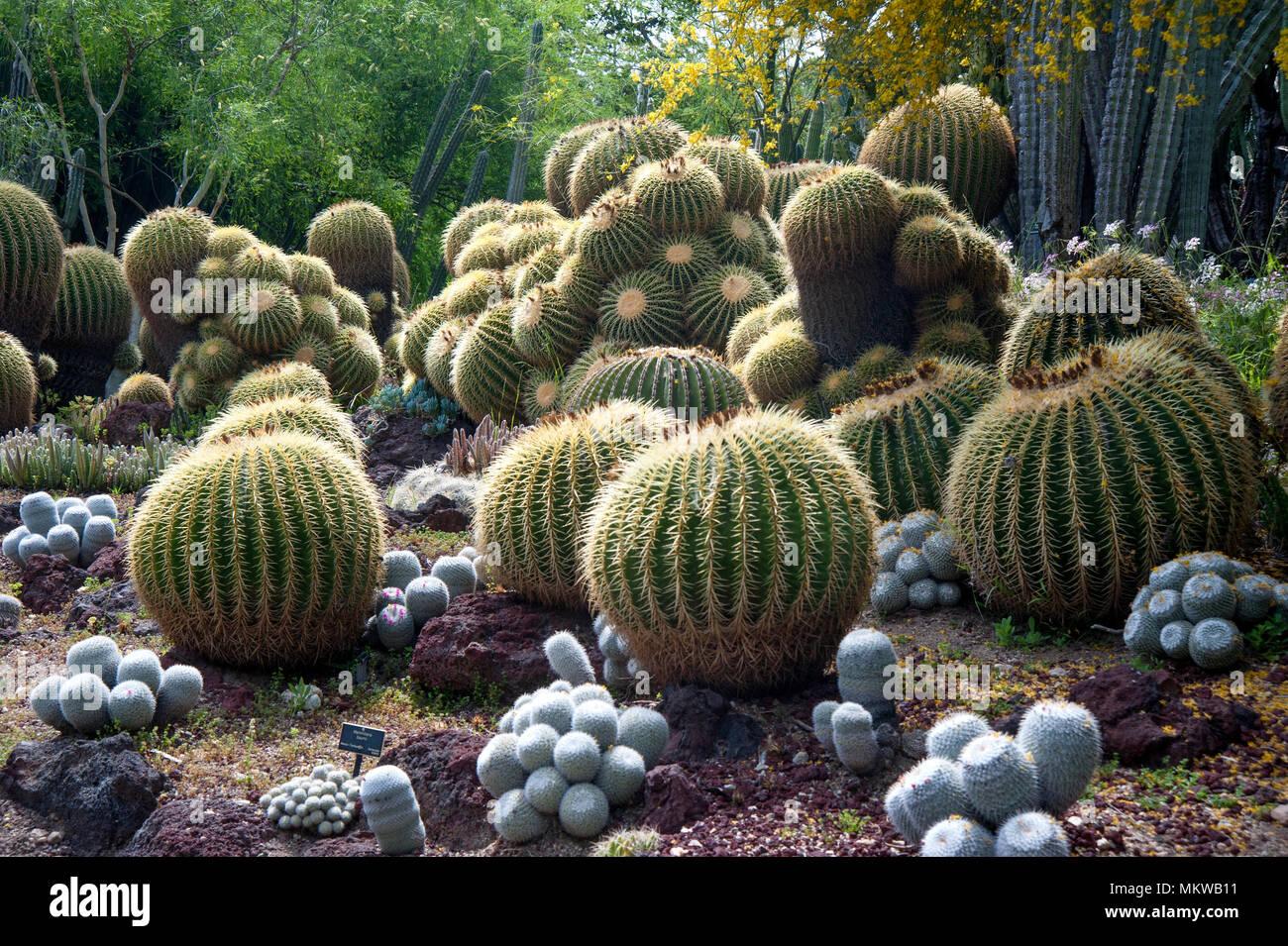 Cactus Garden Display Of Barrel Cactus At The Huntington Gardens