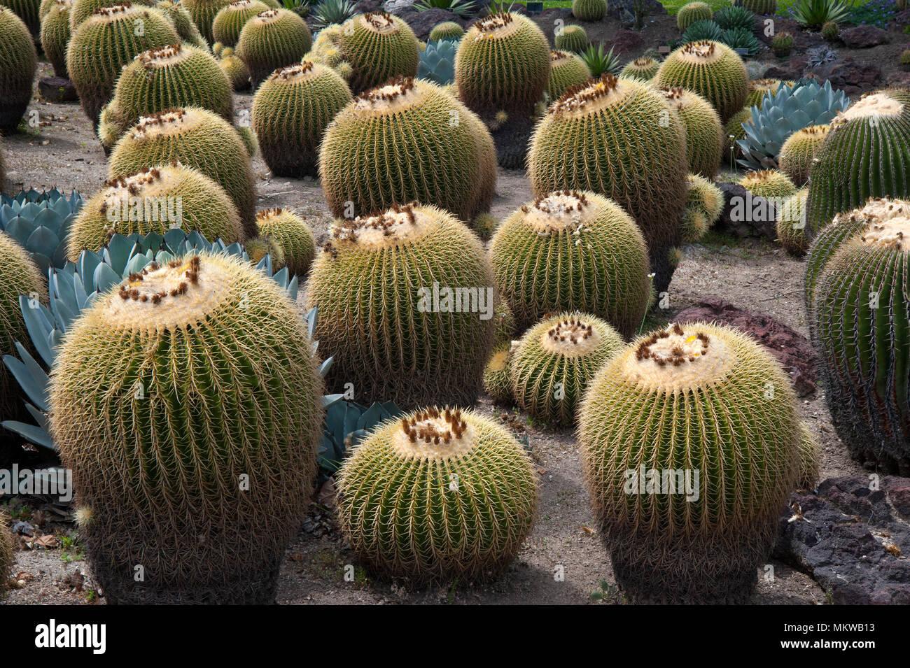Cactus Garden display of Barrel Cactus at the Huntington Gardens in ...