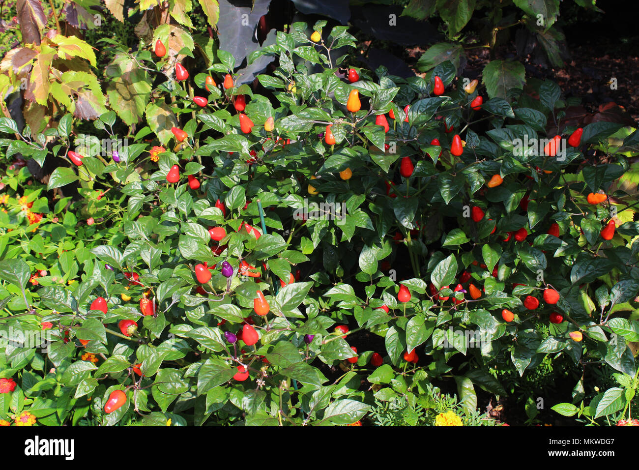 Pepper plants with orange, red, yellow and purple peppers - Stock Image