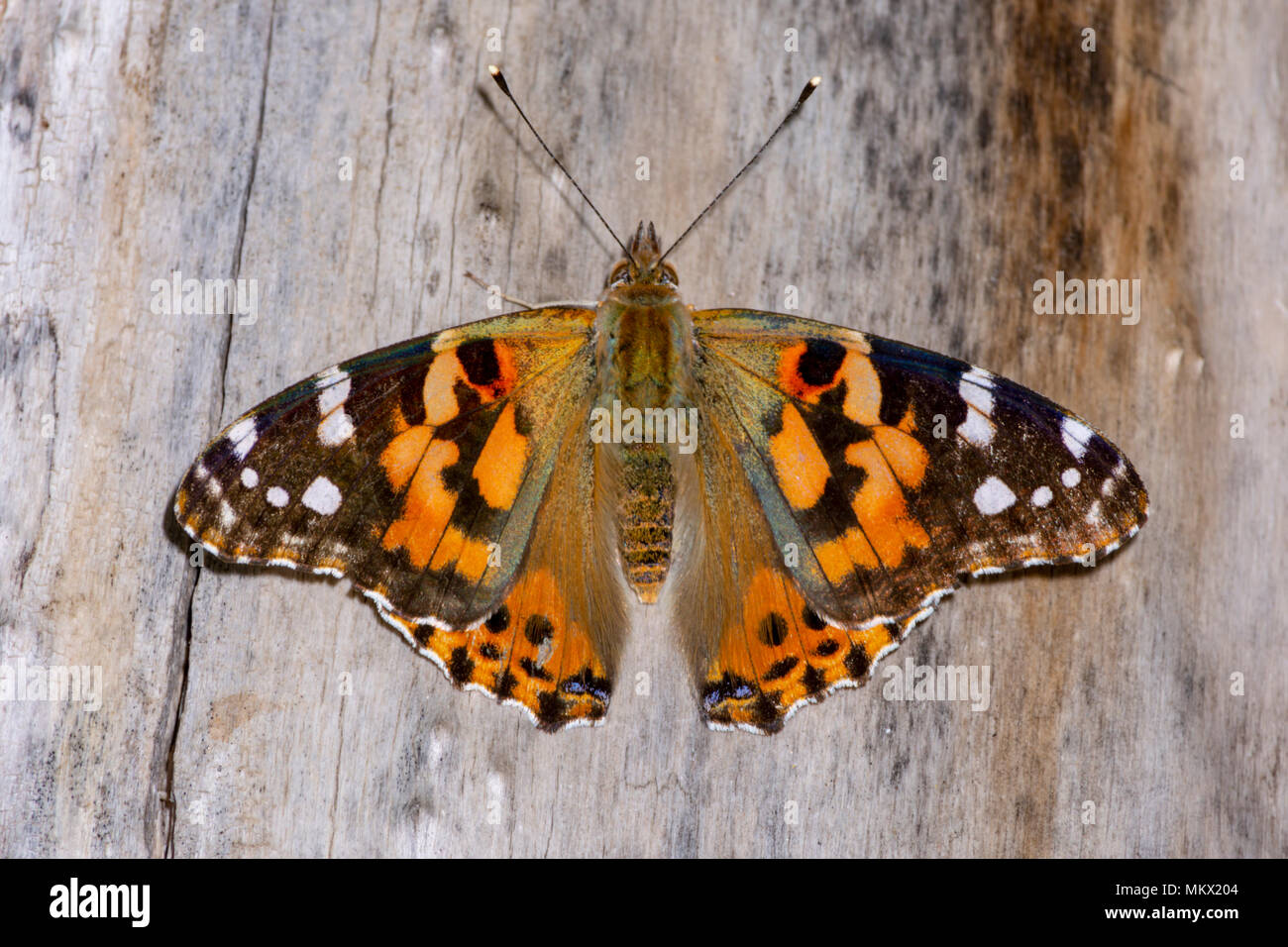 American Painted Lady butterfly, Castle Rock Colorado US - Stock Image
