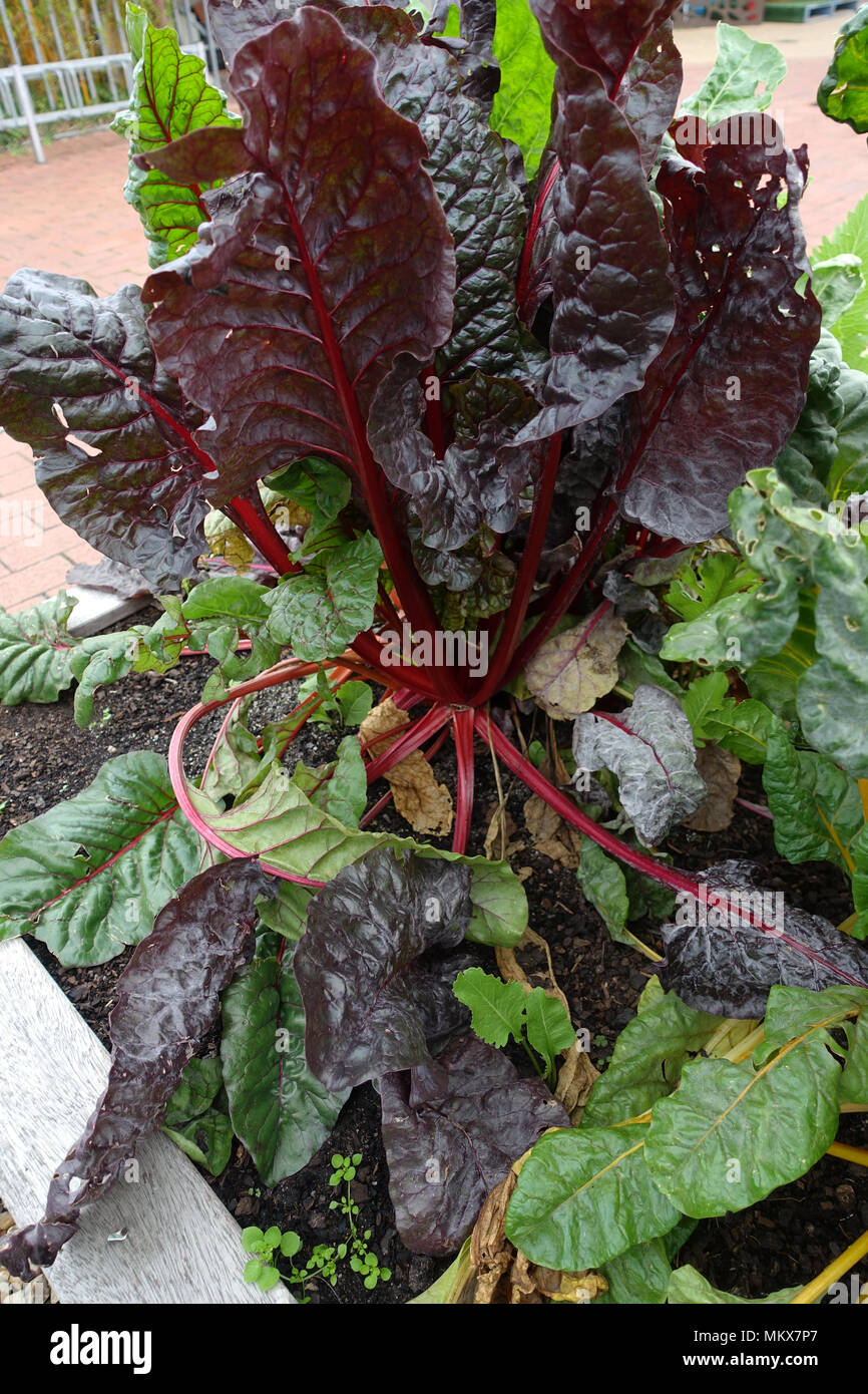 Healthy growing Red Chard Silverbeet - Stock Image