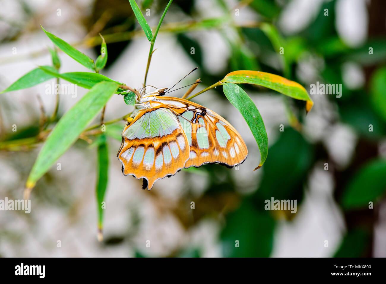 Malachite butterlfy (Siproeta Stelenes) on leaf - Stock Image