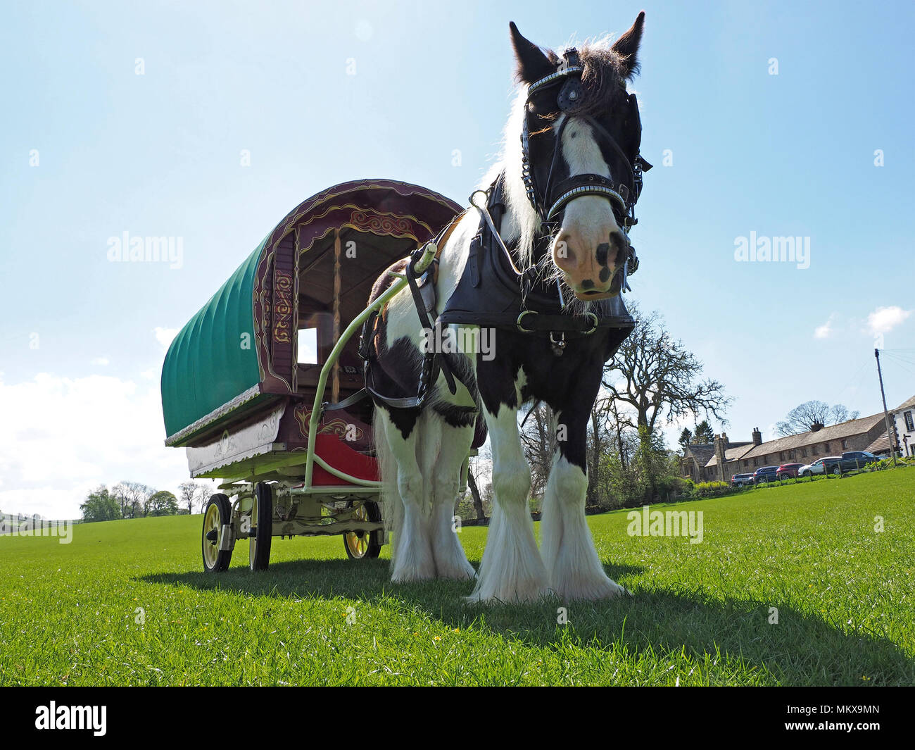 low down view of Gypsy horse with traditional 'Bowtop' or horse-drawn caravan standing out against the sky in a filed in Cumbria, England, UK - Stock Image