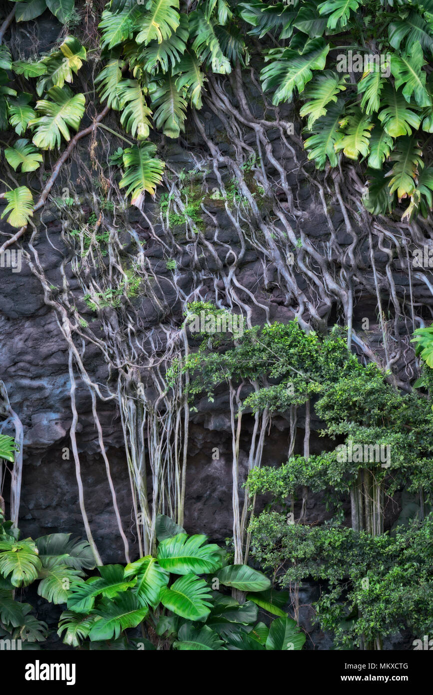 Philodendron thrive in moist and humid Hawaii's Island of Kauai with their long roots clinging to lava walls along the North Shore near Haena Beach. - Stock Image