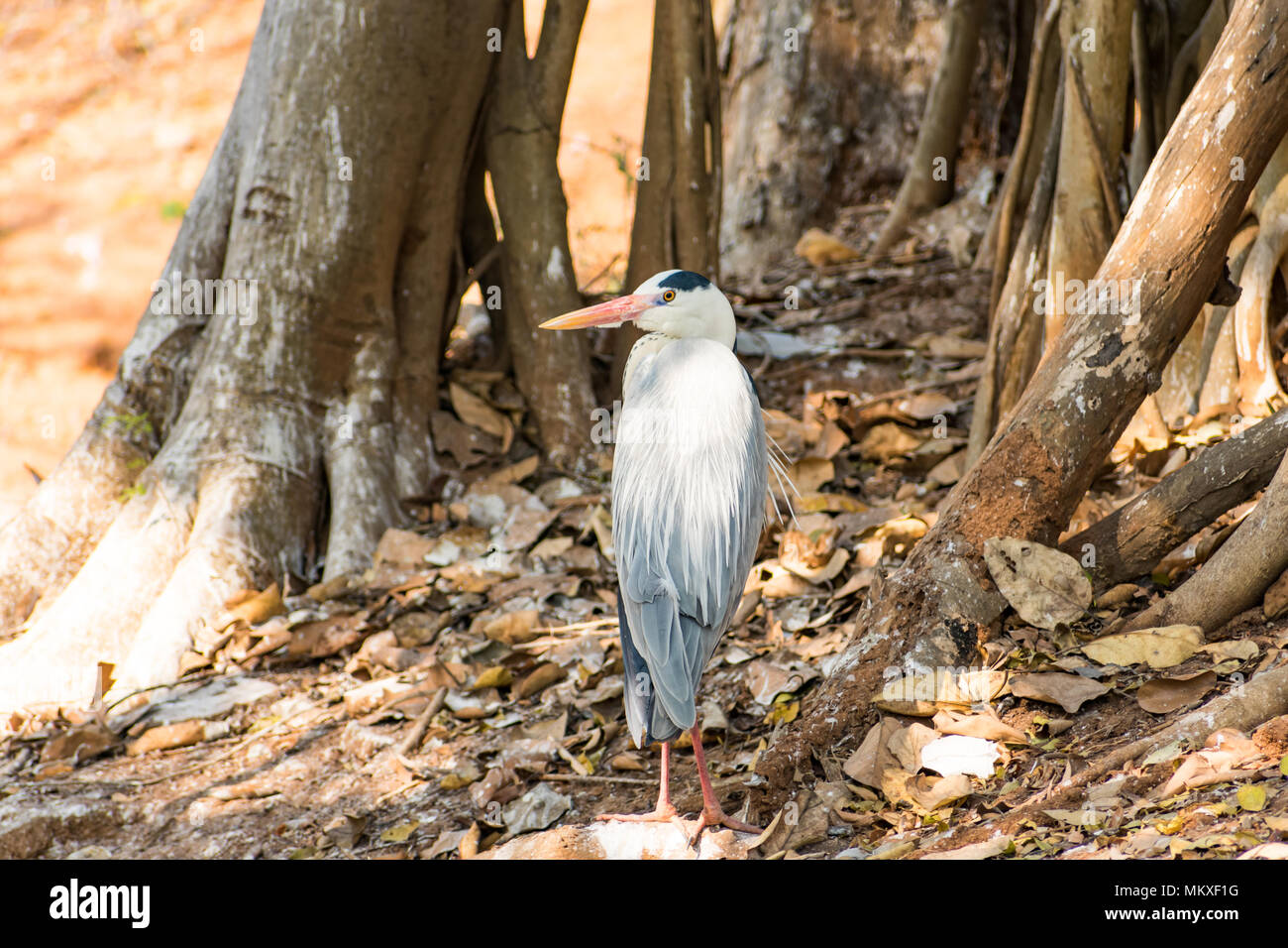 White egret bird at zoo looking very good at sunny day. Stock Photo