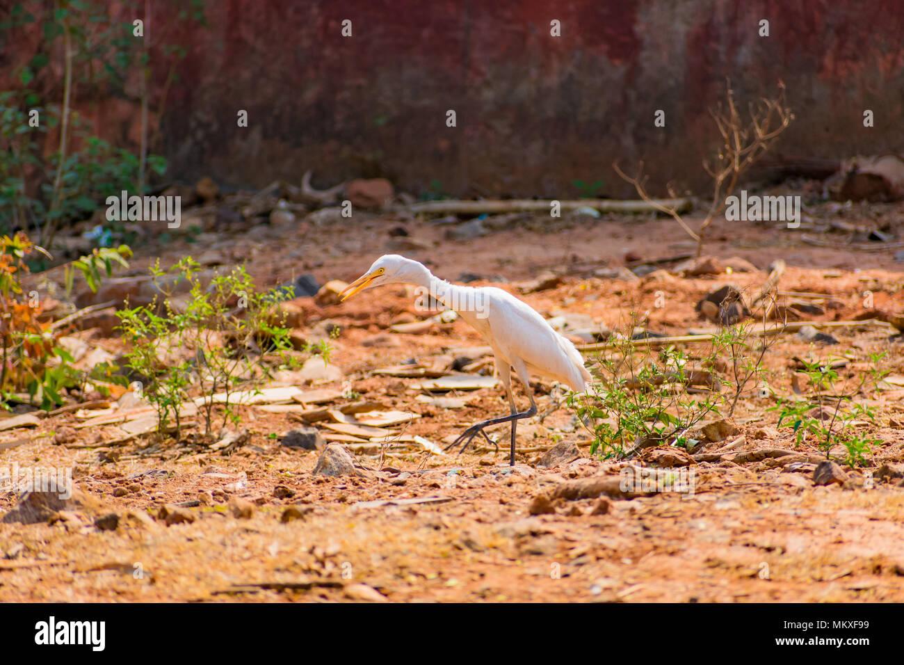 White egret bird at walking at zoo very good at sunny day. Stock Photo
