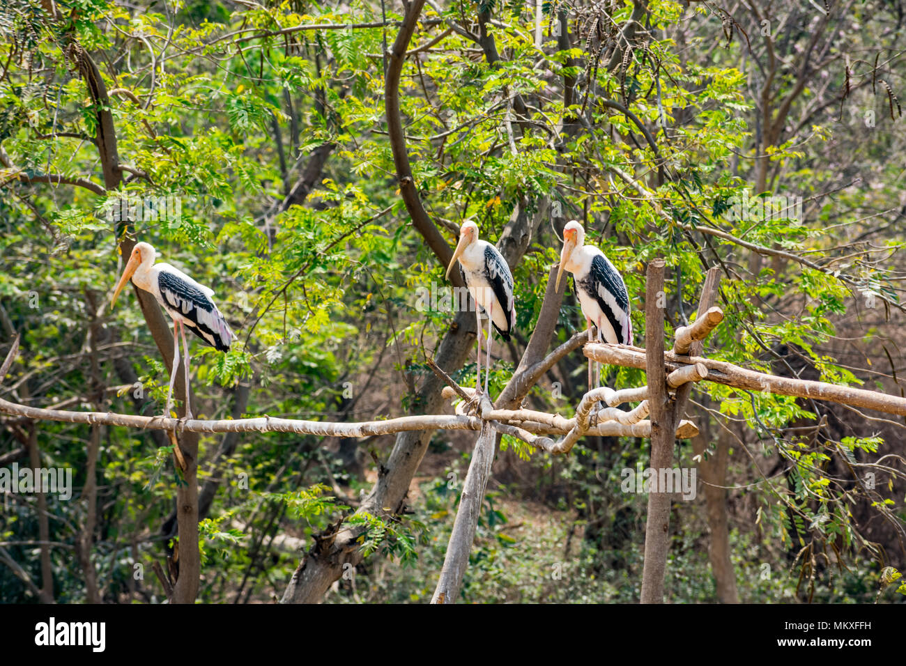 group of painted storks standing at tree at zoo looking awesome. Stock Photo