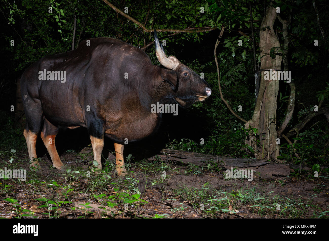 The gaur (Bos gaurus), also called Indian bison, is the largest extant bovine, native to the Indian Subcontinent and Southeast Asia. - Stock Image