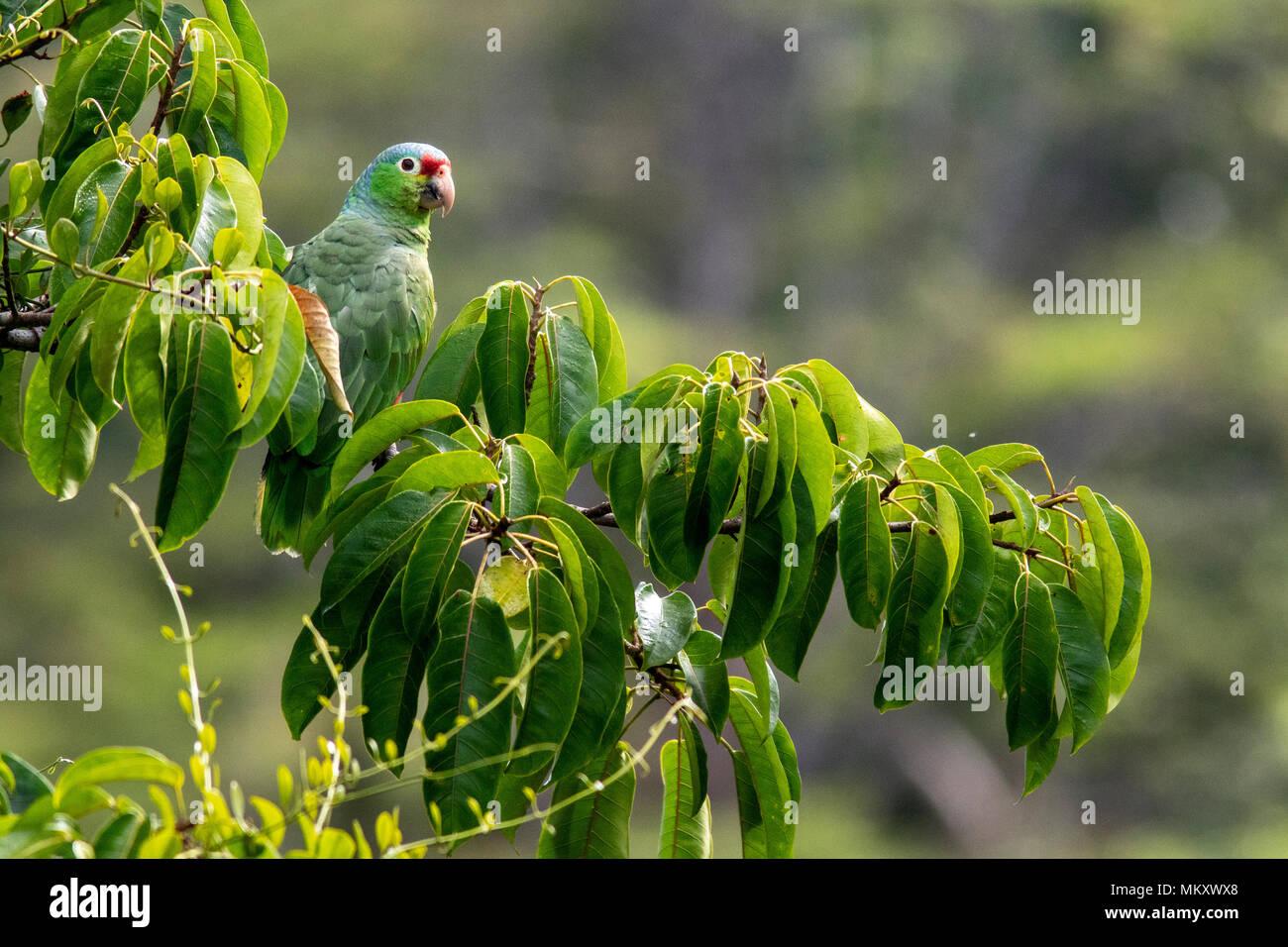 Red-lored Parrot or Red-lored Amazon Parrot - Laguna del Lagarto Lodge, Boca Tapada, San Carlos, Costa Rica - Stock Image