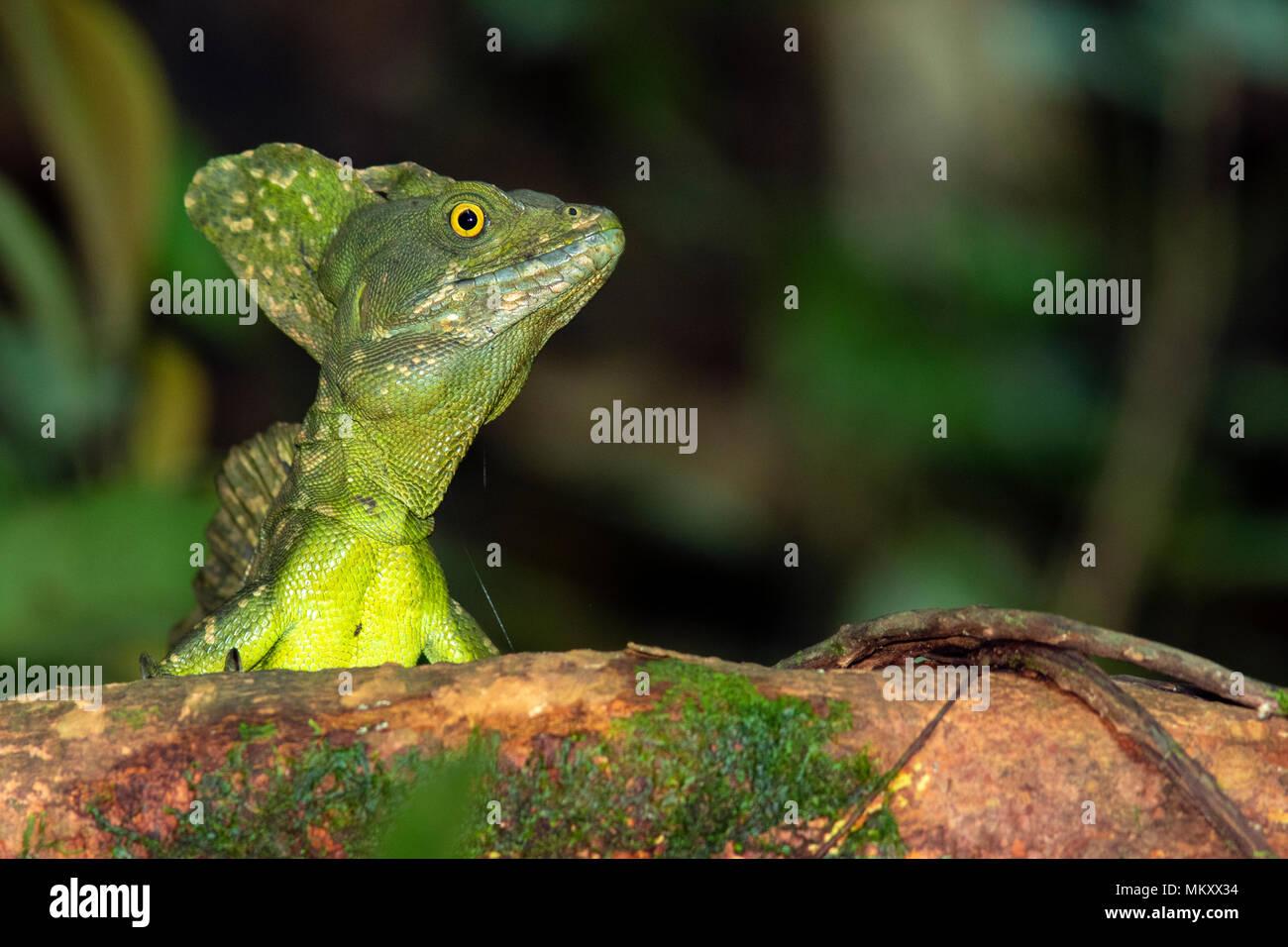 Plumed basilisk (Basiliscus plumifrons) - La Laguna del Lagarto Lodge, Boca Tapada, Costa Rica Stock Photo