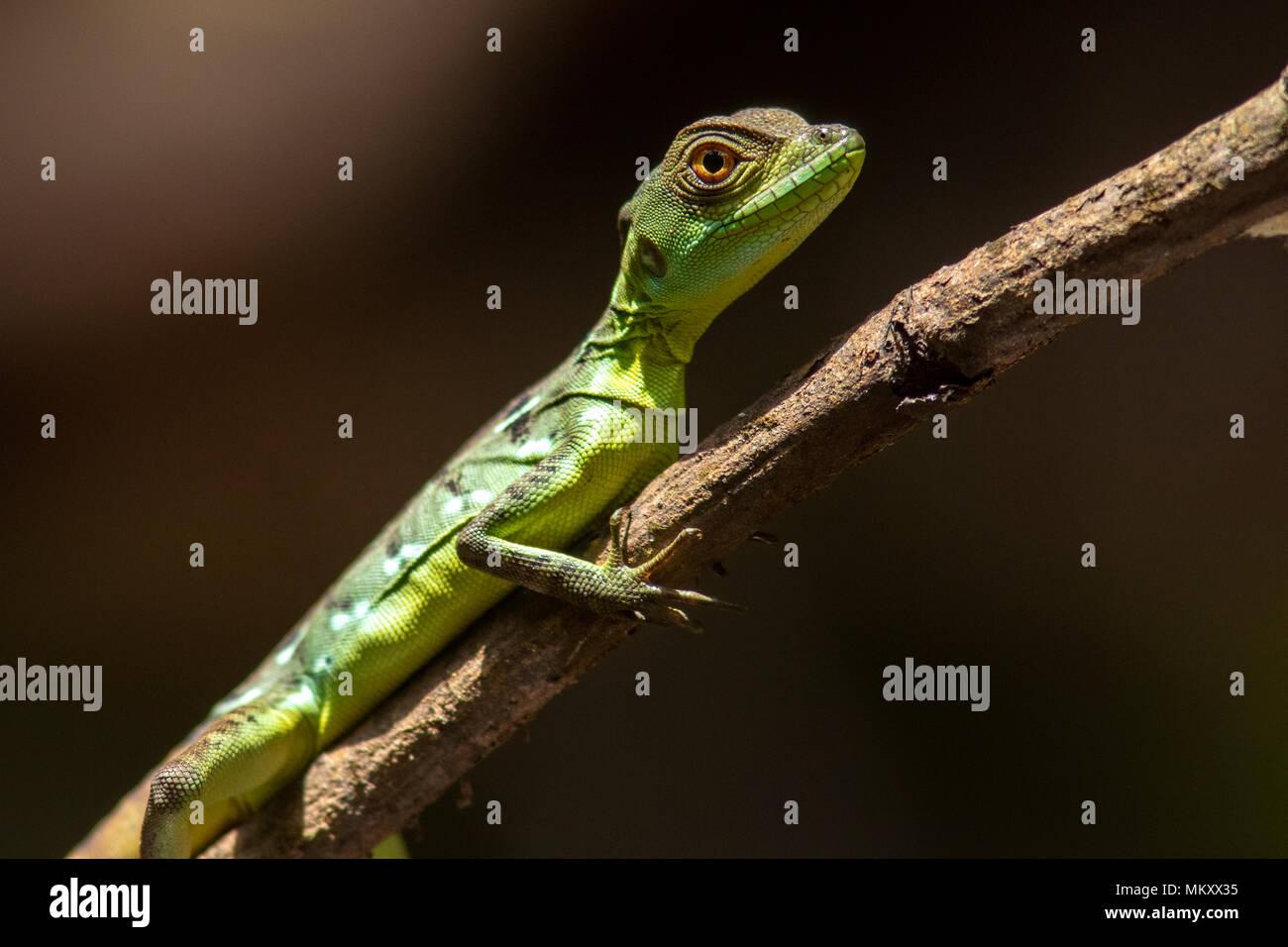 Juvenile Plumed basilisk (Basiliscus plumifrons) - La Laguna del Lagarto Lodge, Boca Tapada, Costa Rica Stock Photo