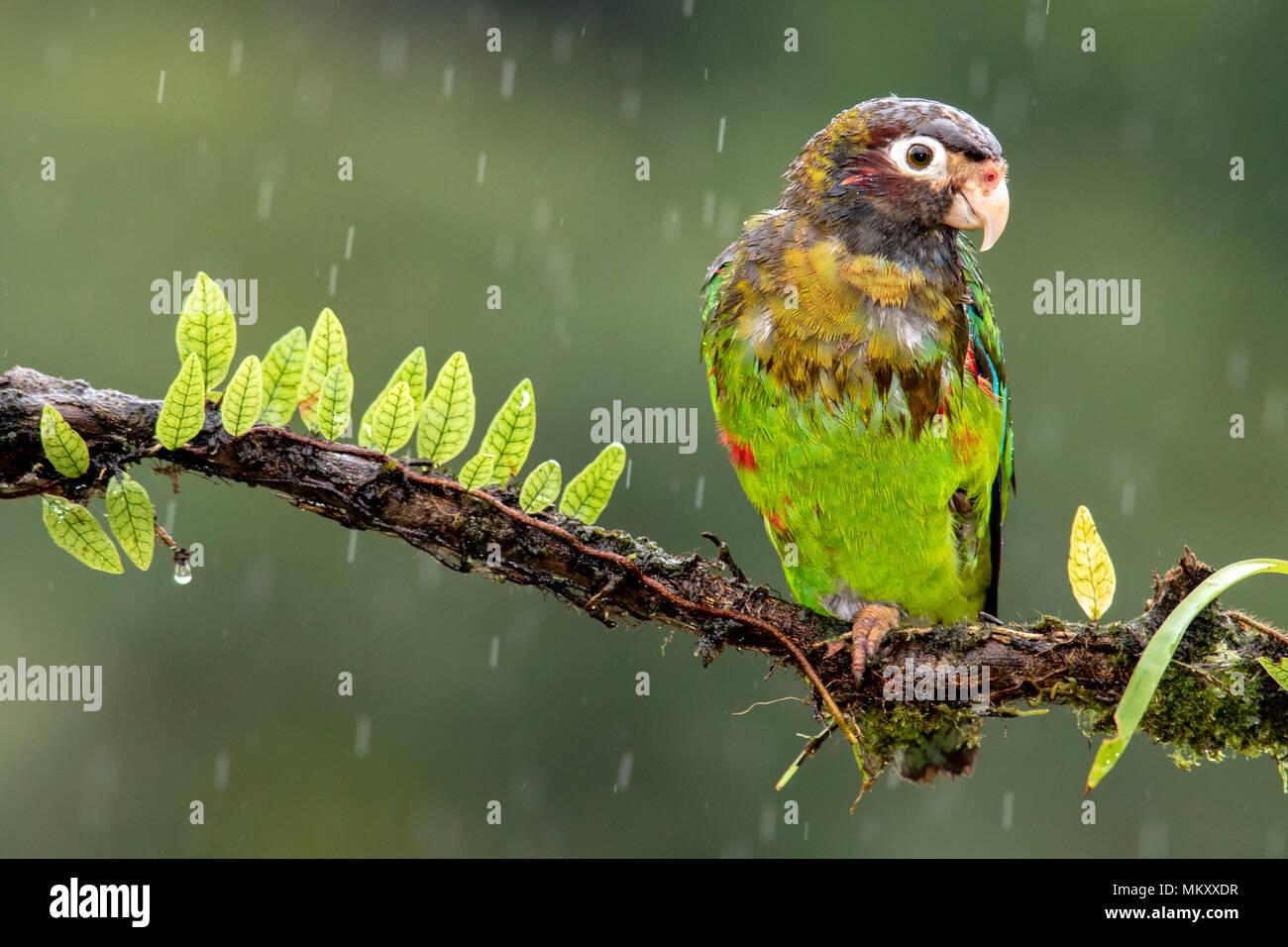 Brown-hooded Parrot (Pyrilia haematotis) in the rain - La Laguna del Lagarto Lodge, Boca Tapada, Costa Rica - Stock Image