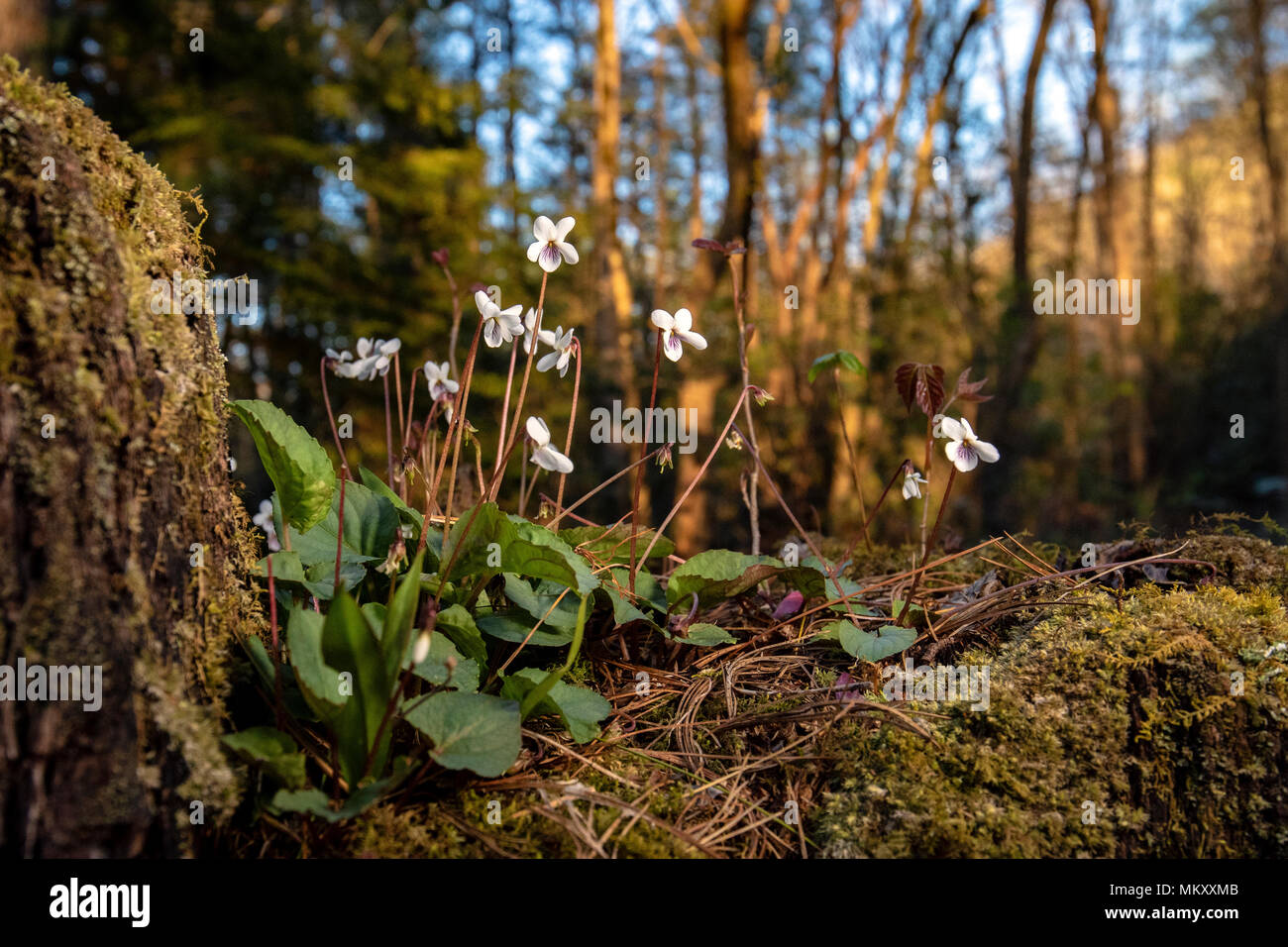 Sweet White Violet (Viola blanda) -Holmes Educational State Forest, Hendersonville, North Carolina, USA - Stock Image