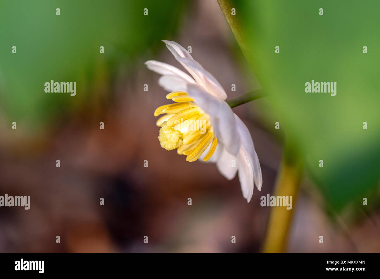 Mayapple Flower (Podophyllum peltatum) - Holmes Educational State Forest, Hendersonville, North Carolina, USA Stock Photo