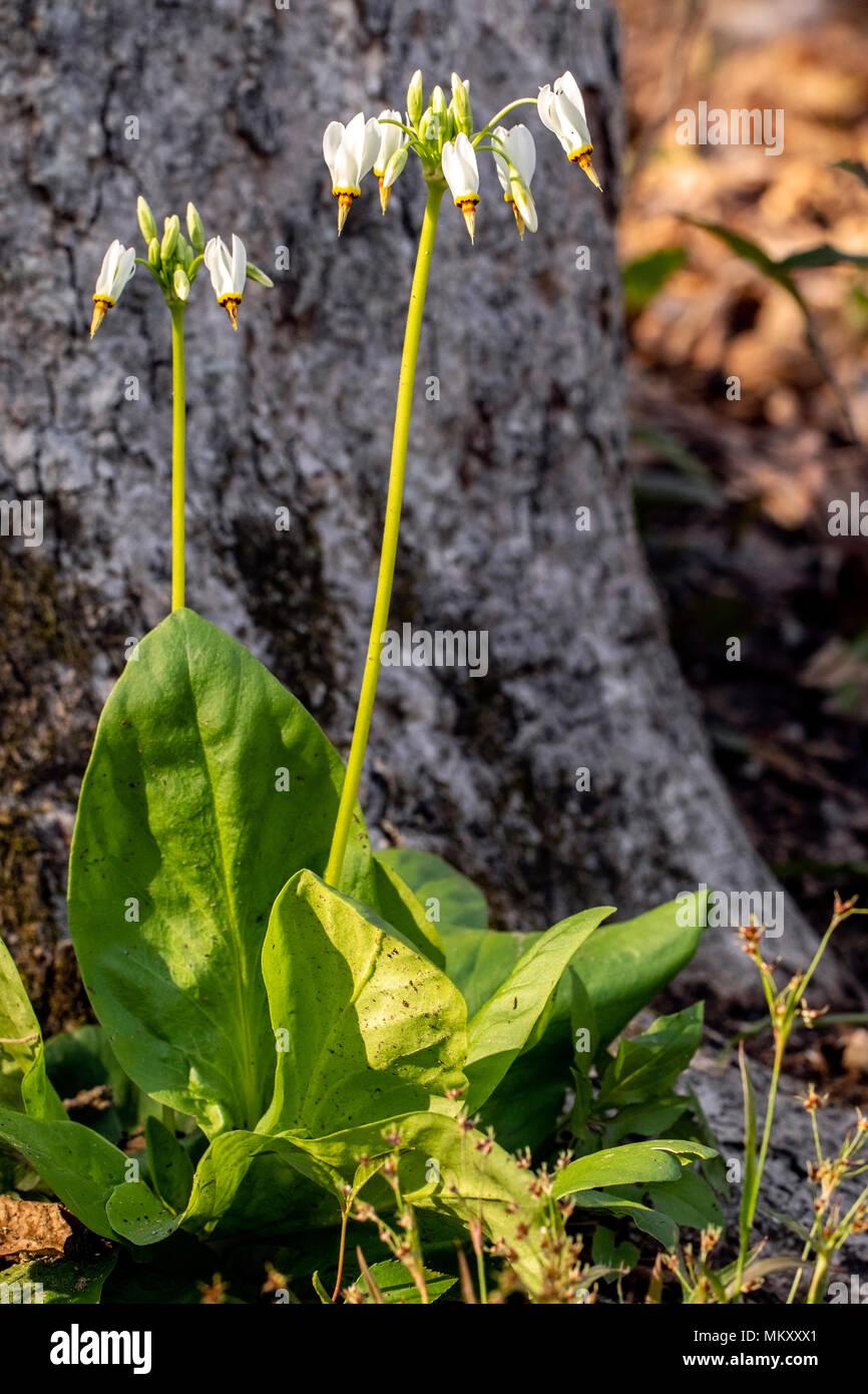 Shooting Star (Dodecatheon meadia) - Corneille Bryan Native Garden - Lake Junaluska, North Carolina, USA - Stock Image