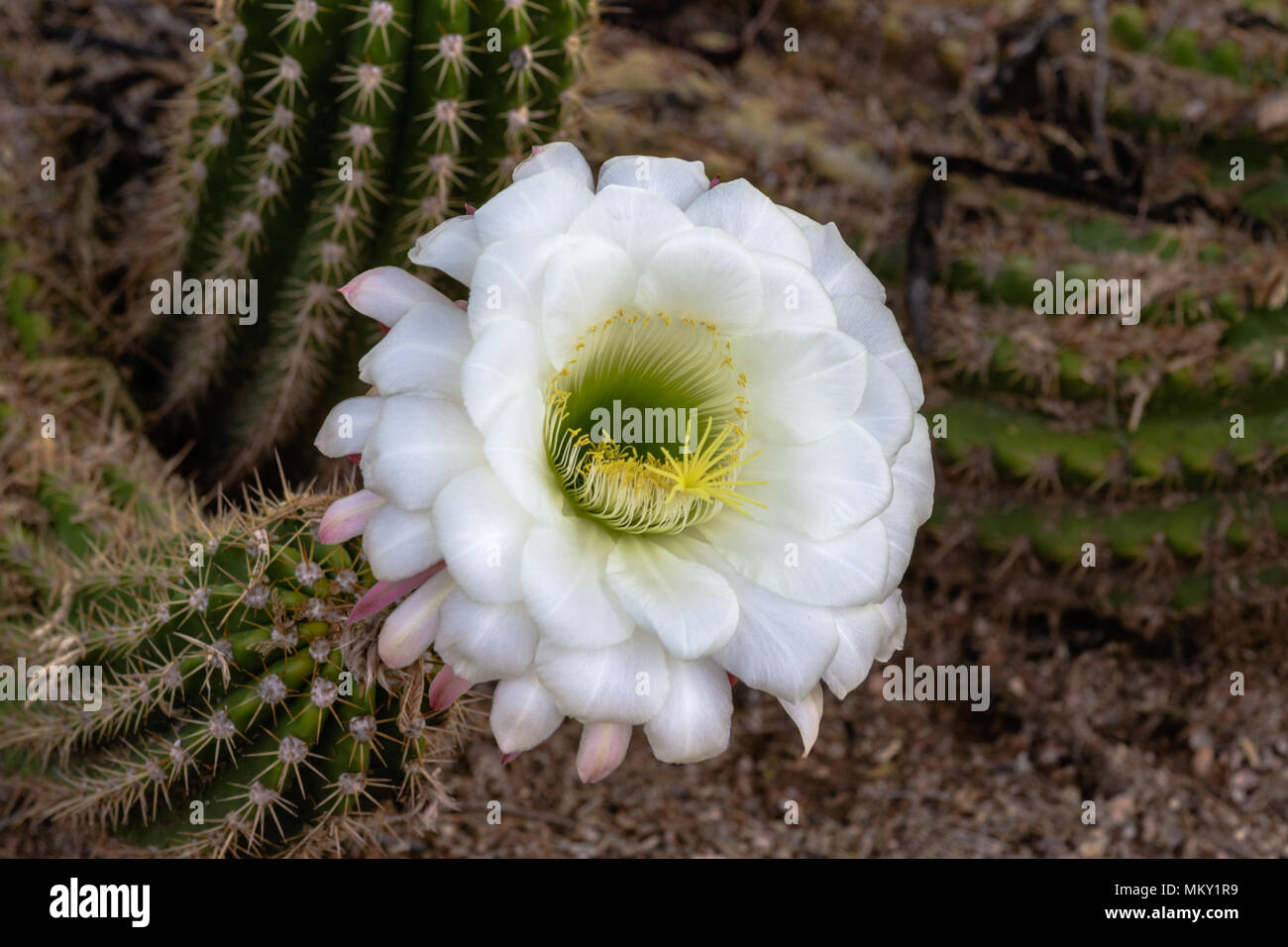 Large White Cactus Flower Stock Photos Large White Cactus Flower