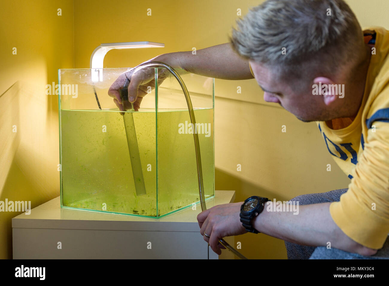 Adult caucasian male man cleaning fish tank glass from green algae using scrubber cleaning sponge  Model Release: Yes. Property Release: No. - Stock Image