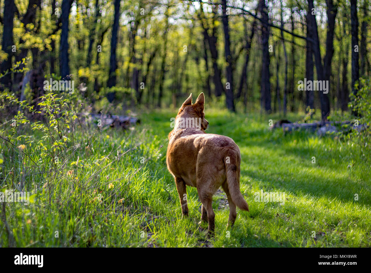 Dog wandering countryside during spring in rural Midwest, USA. - Stock Image