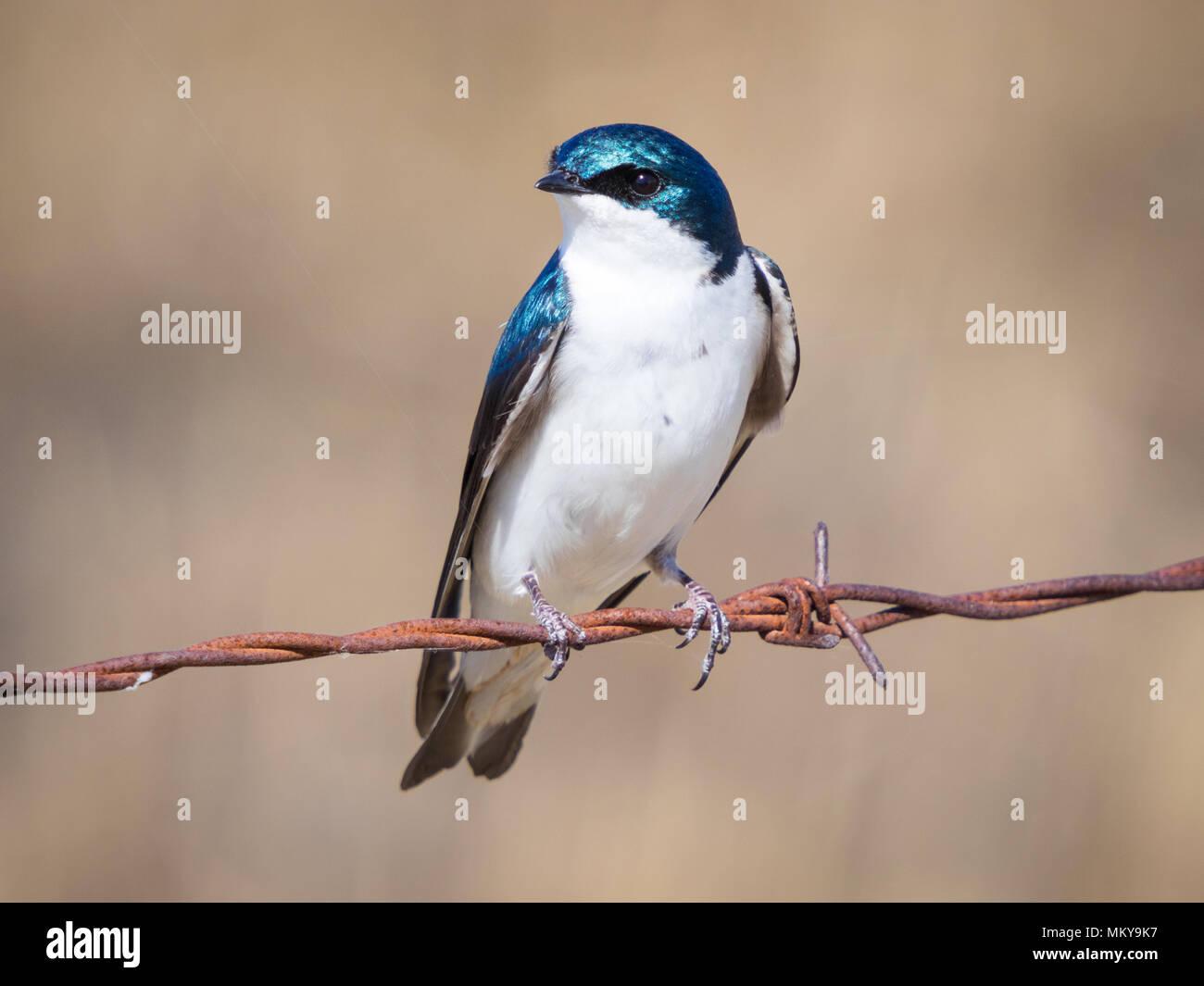 A tree swallow (Tachycineta bicolor) near Beaverhill Lake, Alberta, Canada. Stock Photo