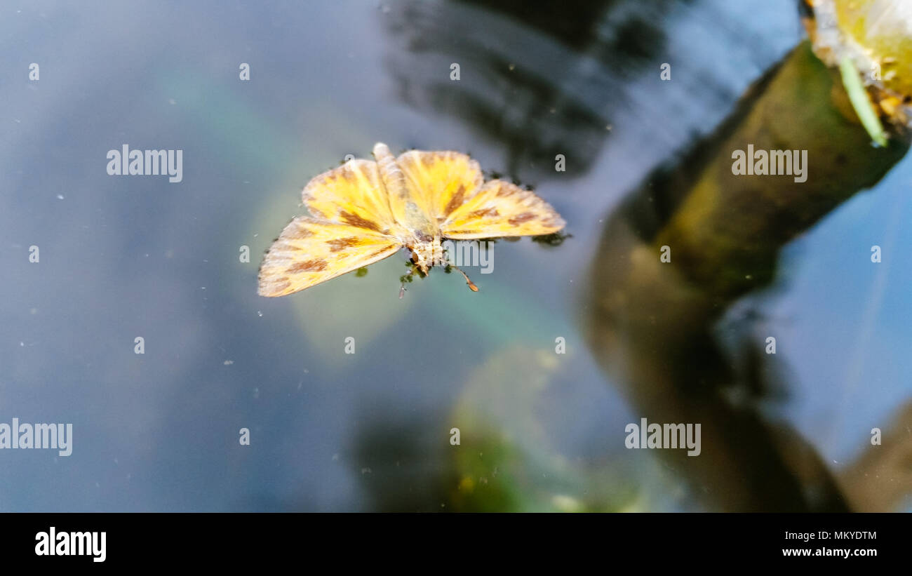 Butterfly on the water Stock Photo
