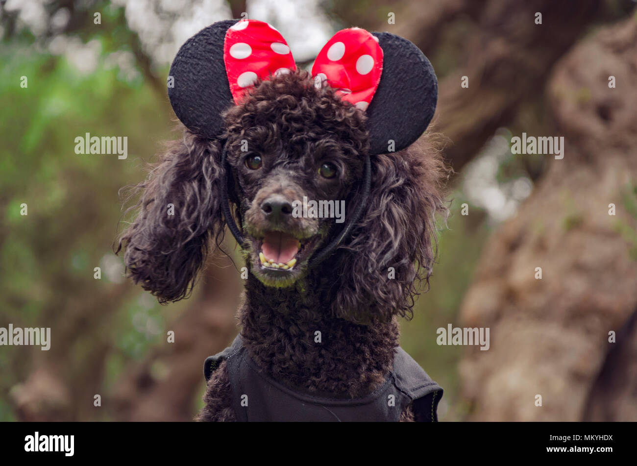 Close-up of Poodle looking at camera, 13 years old - Stock Image