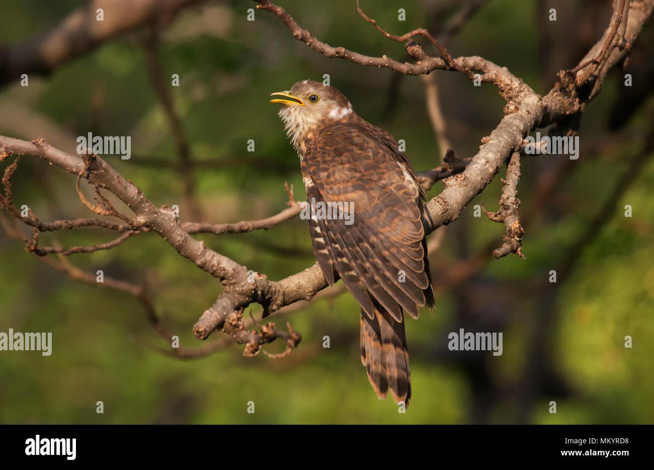 Cuckoo's Chick - Stock Image