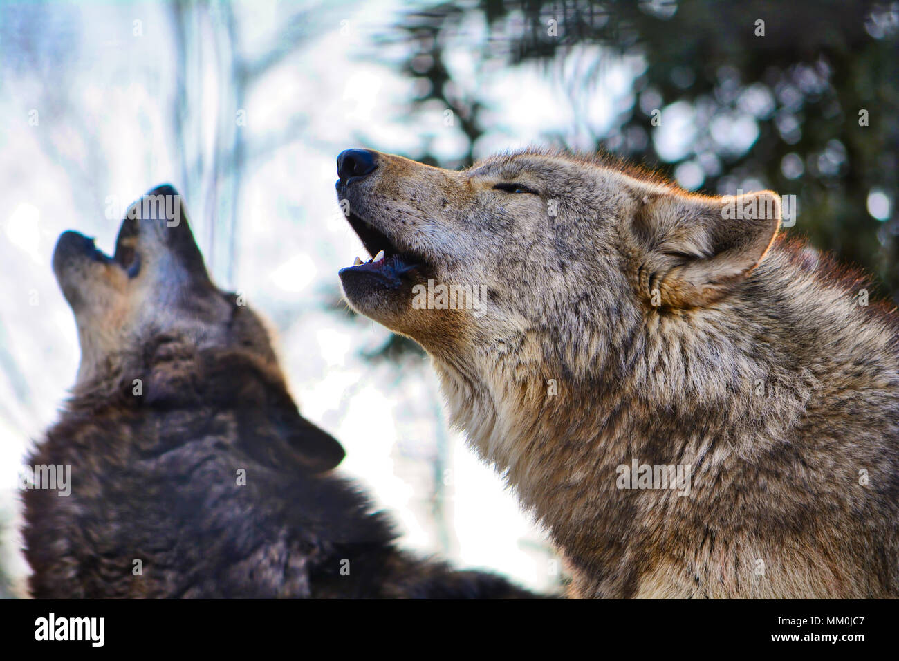 Wolves Howling Stock Photos & Wolves Howling Stock Images ...