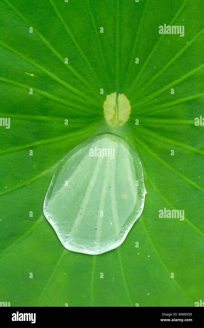 Water drop on sacred lotus leaf (Nelumbo nucifera) - Stock Image