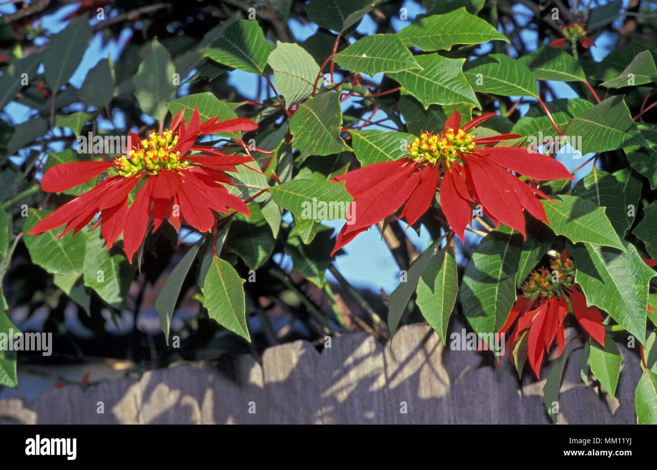 Poinsettia Tree High Resolution Stock Photography And Images Alamy
