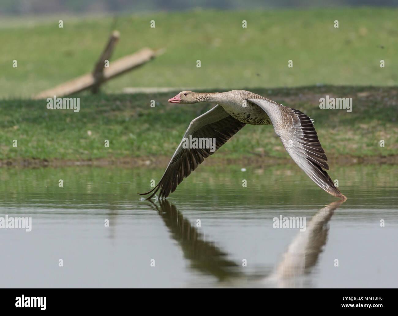Greylag Goose (Anser anser) Flying Low. Stock Photo