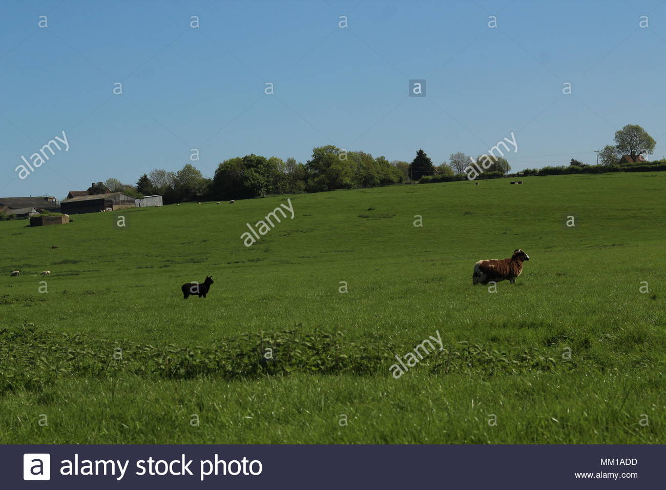 Part of a Series - Angry Mother on Warpath, Ewe and lamb re-united Colchester, Essex, UK - Stock Image