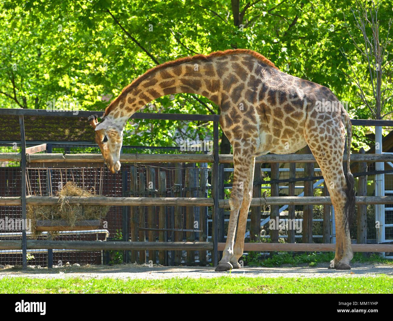 Giraffe (Giraffa camelopardalis giraffa) - Stock Image