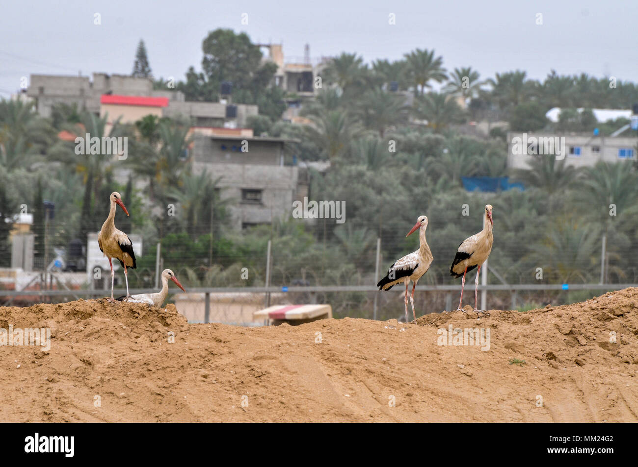 White Stork (Ciconia ciconia) foraging for food on a landfill. White storks are very large wading birds that feed on fish, frogs and insects, as well  - Stock Image