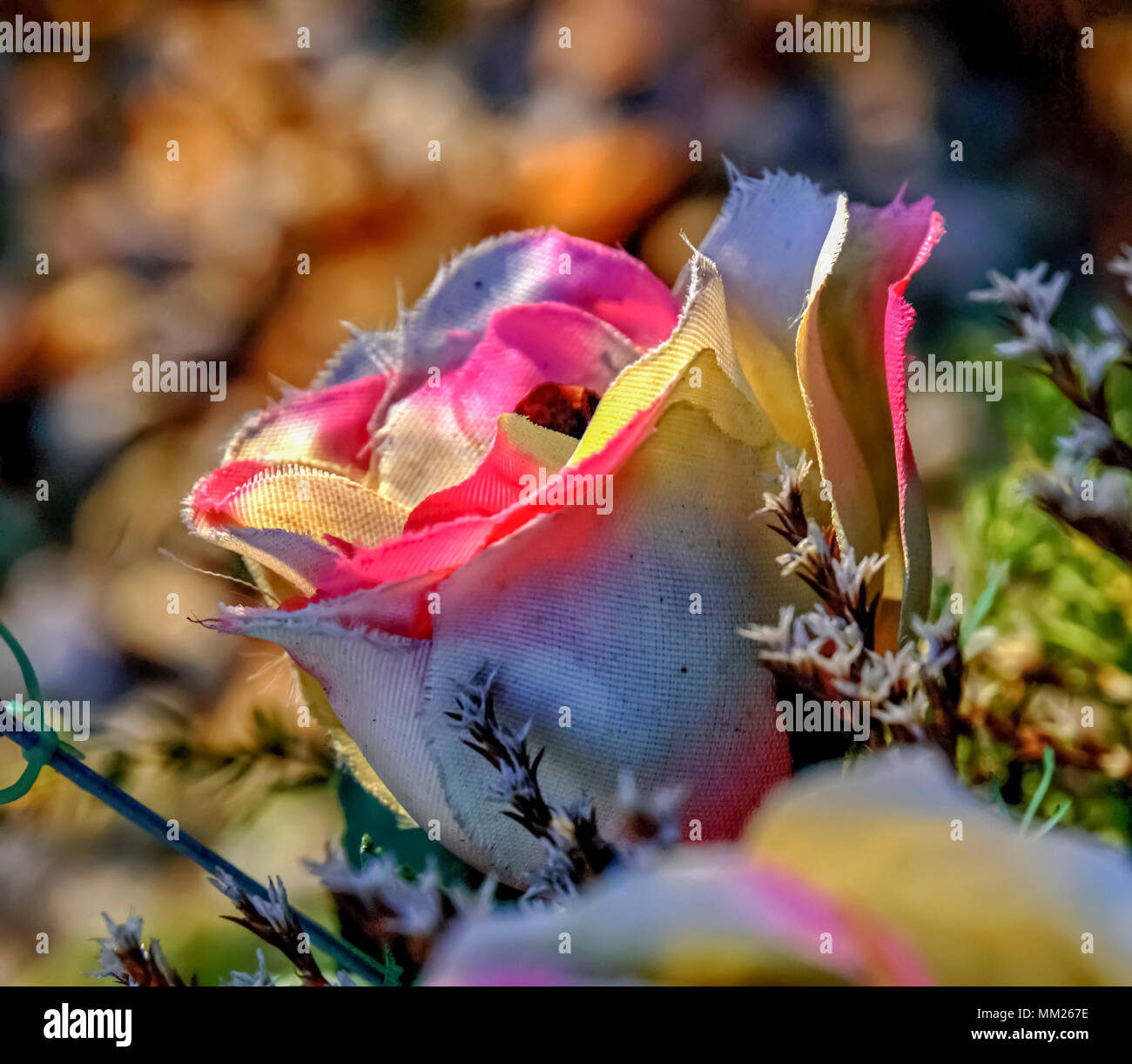 Pink and white garden rose - Stock Image