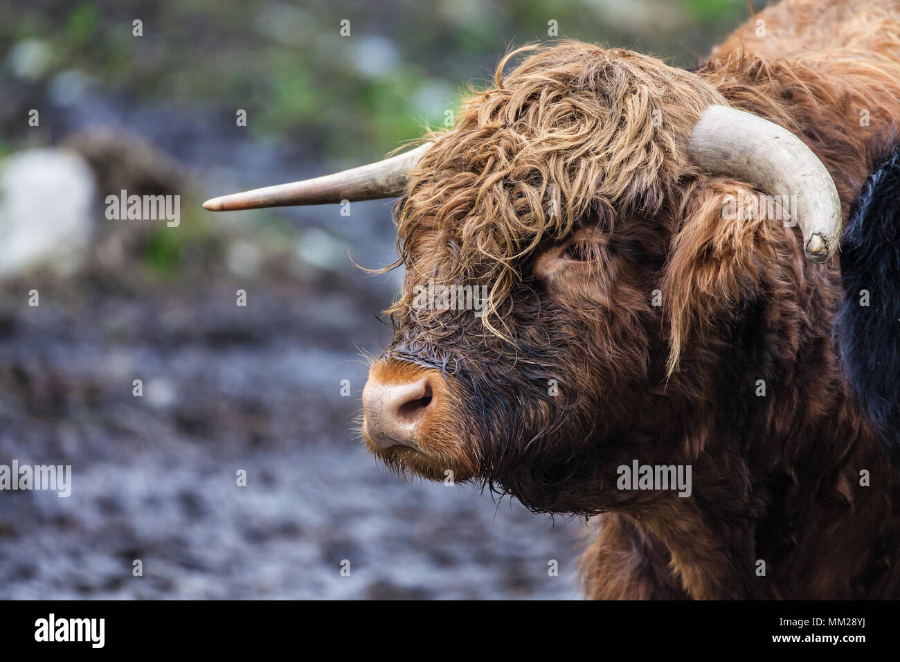 Headshot of a Highland bull in a pasture near Skjolden, Norway. - Stock Image