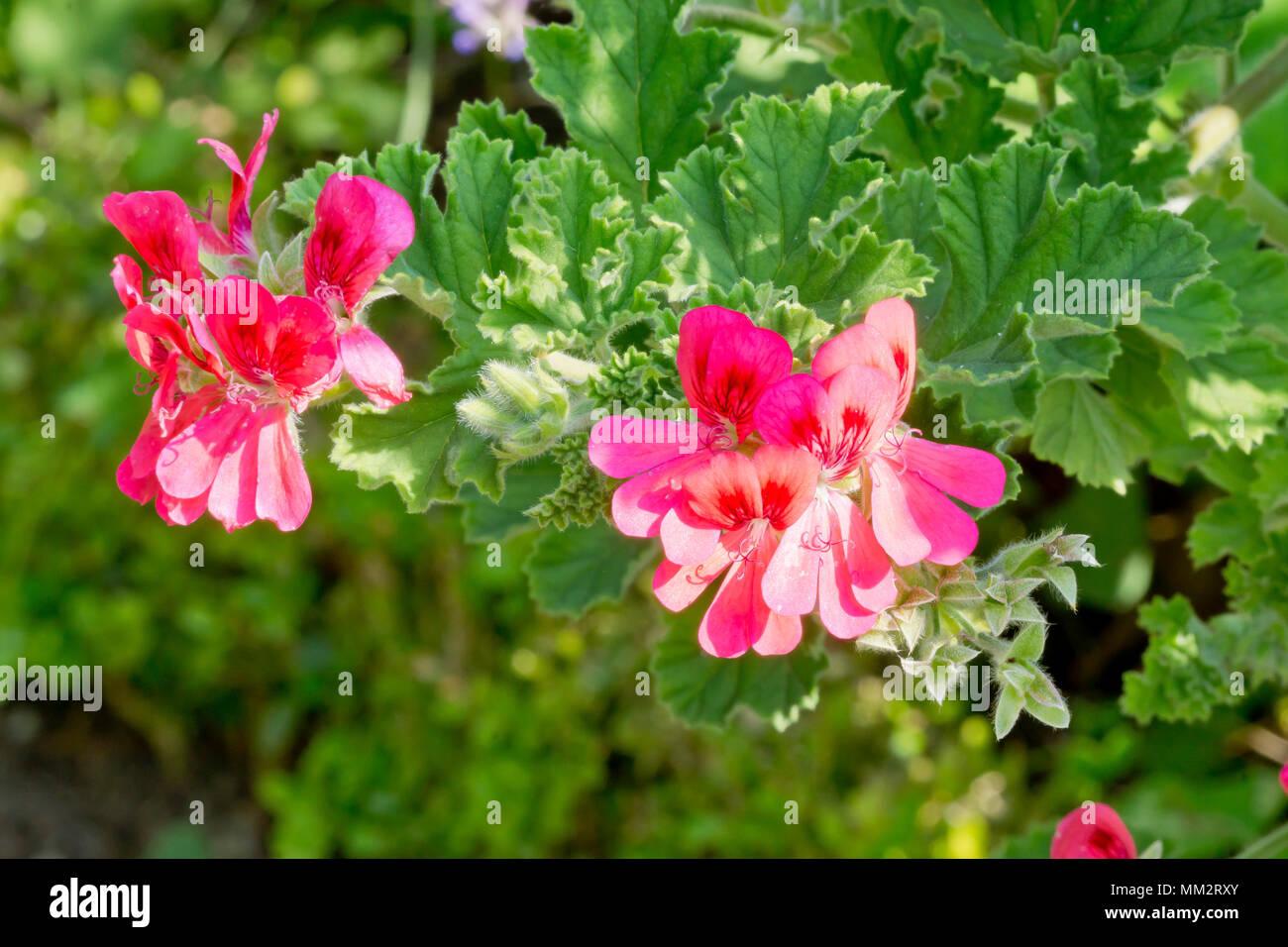 Pelargonium 'Shrubland Pet' in bloom in a garden Stock Photo