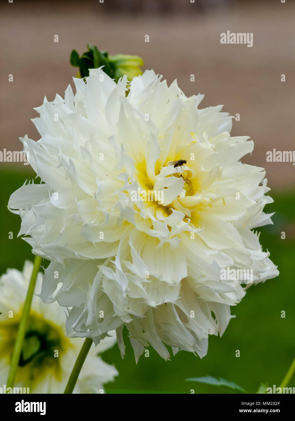 Dahlia 'Horse Feather' in bloom in a garden Stock Photo