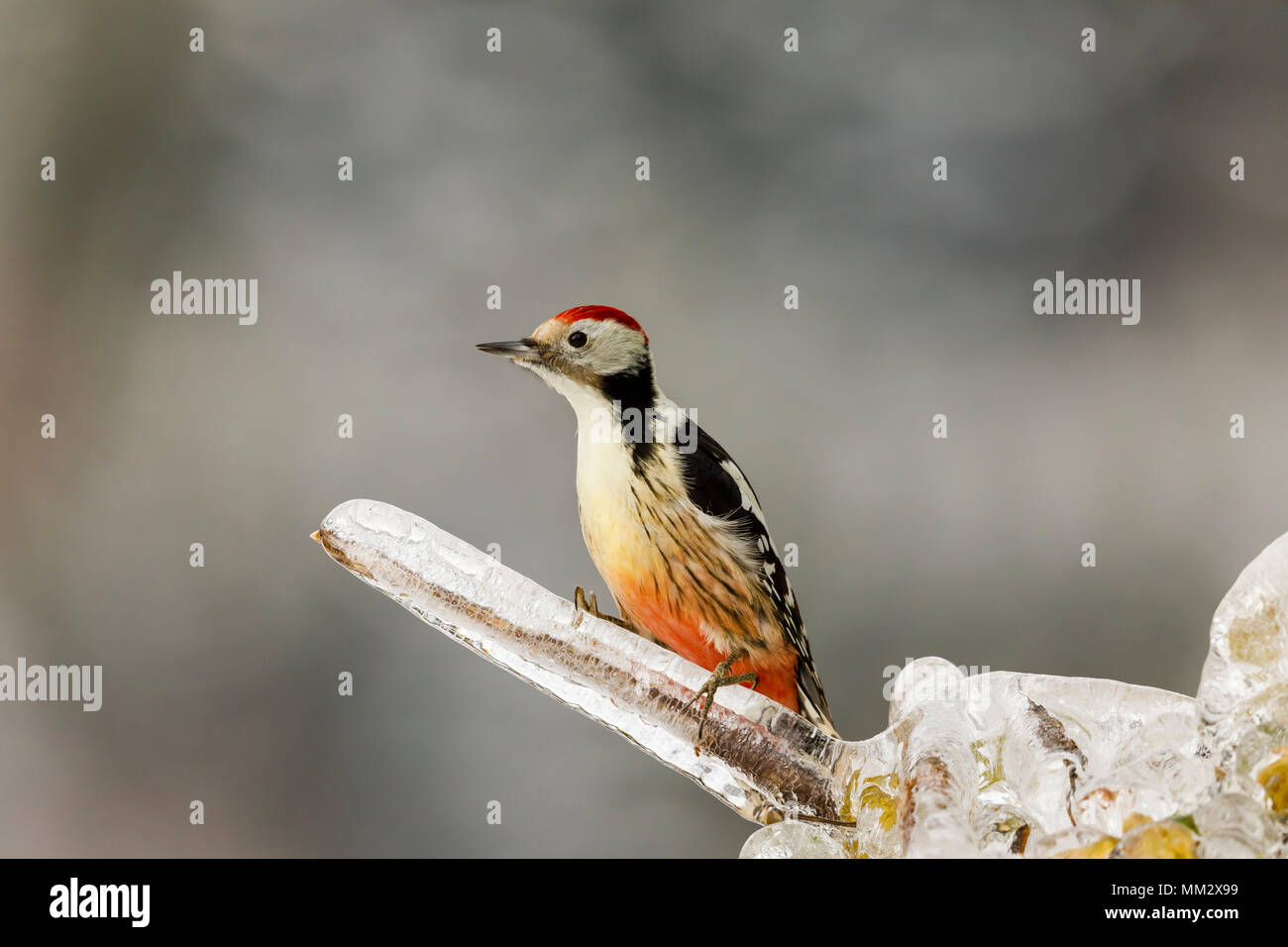 Middle spotted woodpecker (Dendrocoptes medius) male perched on a branch glazed by ice, Alsace, France Stock Photo