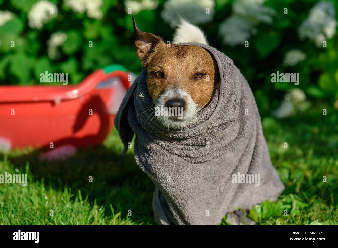 Dog wrapped up in grey towel after shower cooling down at hot summer day - Stock Image