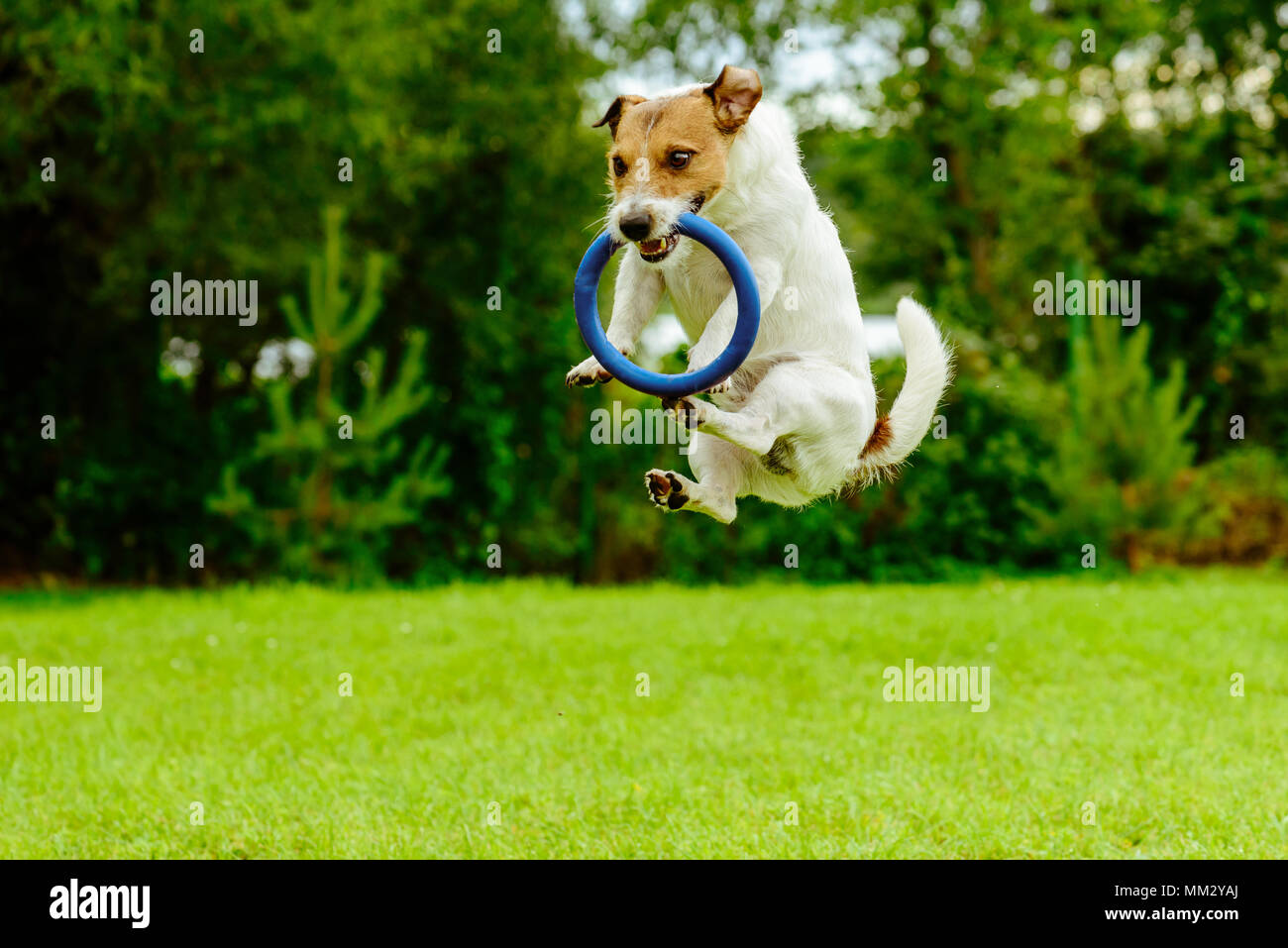 Funny dog in jumping motion  catching ring toss toy - Stock Image