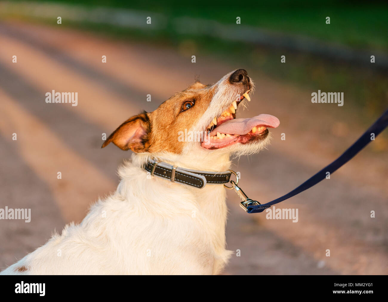 Dog with collar and leash looking up and listening owner during obedience training - Stock Image