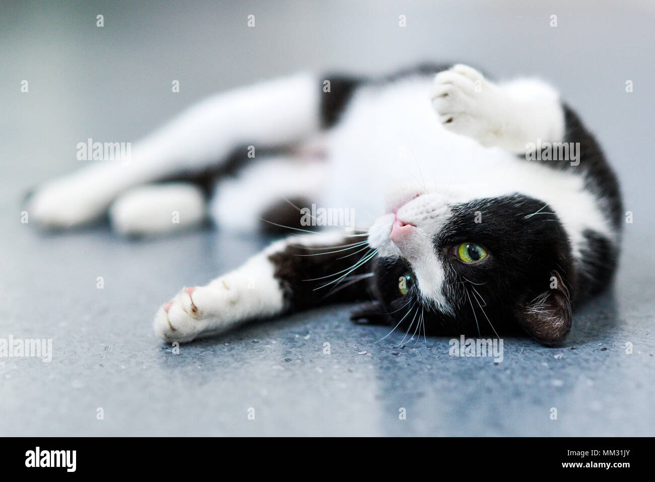 Black-and-white cat relaxing at home. - Stock Image