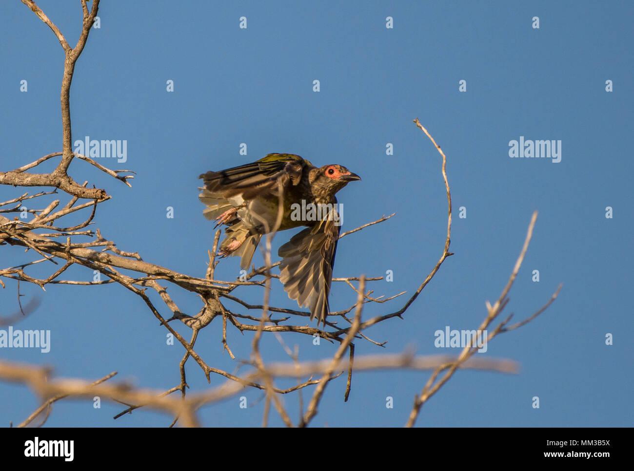 Fig Bird, Sphecotheres viridis Stock Photo