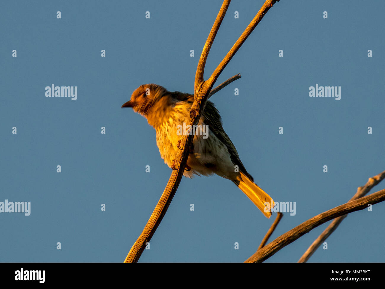 Fig Bird, Sphecotheres viridis Stock Photo